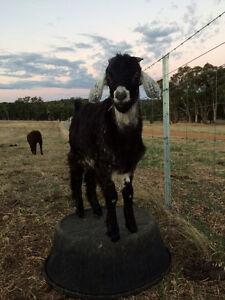 Billy Goat Wundowie Northam Area Preview