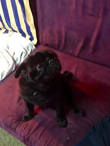 Black Male Purebred Pug Morley Bayswater Area Preview