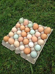 Fresh eggs for trade or sale Woree Cairns City Preview