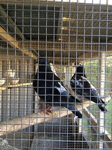 Breeding pair of King pigeons Whalan Blacktown Area Preview