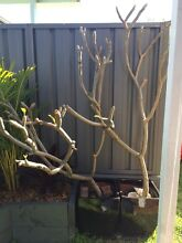 Established frangipani trees Merewether Newcastle Area Preview