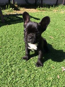 French Bulldog puppy Joondalup Joondalup Area Preview