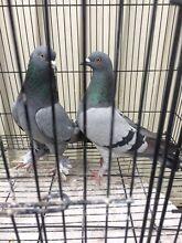 Tumbler  pigeon pair Merrylands Parramatta Area Preview