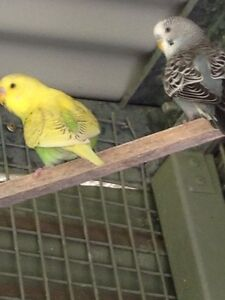 Baby Budgies Picton Wollondilly Area Preview