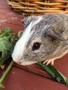 Baby Guinea pig male Beacon Hill Manly Area Preview