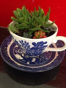 Tea Cup Succulents! Norwood Launceston Area Preview