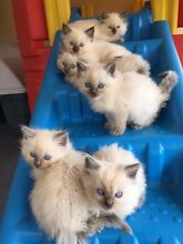 Ragdoll kittens 4 boys blue points Castlereagh Penrith Area Preview