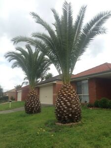 2 Palm trees Narre Warren Casey Area Preview