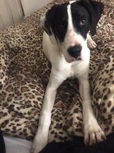 6 month old Arab bull / English pointer puppy Tarneit Wyndham Area Preview