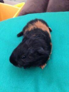 Guinea pig babies Lisarow Gosford Area Preview