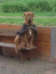 Friendly Mastiff to Good Home Healesville Yarra Ranges Preview
