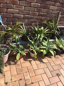 Plants In pots: agave , palms, yukka Elanora Gold Coast South Preview