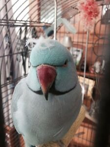 SUBSTANTIAL REWARD - *!* LOST BLUE INDIAN RINGNECK PARROT *!* Slacks Creek Logan Area Preview
