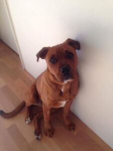 6 month old Rottweiler x boxer Dalyellup Capel Area Preview