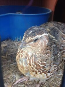 2 jap quails males Diddillibah Maroochydore Area Preview