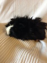 Cute baby guinea pig - $10 - northern beaches Sydney Warriewood Pittwater Area Preview