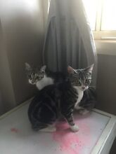 Kittens Free to good home! Bowen Mountain Hawkesbury Area Preview