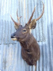 ️Sambar deer  head stag / mounted , taxidermy Swifts Creek East Gippsland Preview