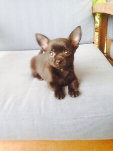 Pure breed chihuahua puppy's Mount Druitt Blacktown Area Preview