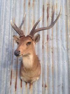 Rusa deer stag mounted taxidermy Swifts Creek East Gippsland Preview