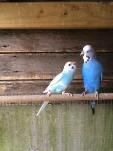 Budgies for sale babies and adults Chelsea Heights Kingston Area Preview