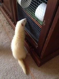 Ferrets - Two female albino Clarkson Wanneroo Area Preview