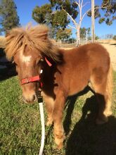 Shetland filly Inverell Inverell Area Preview