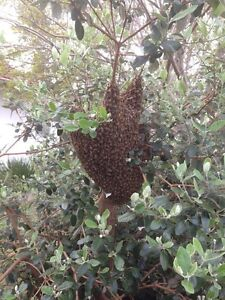FREE BEE SWARM RESCUE ACROSS MELBOURNE!! ALSO NEGOTIABLE HIVE REMOVAL. Mitcham Whitehorse Area Preview