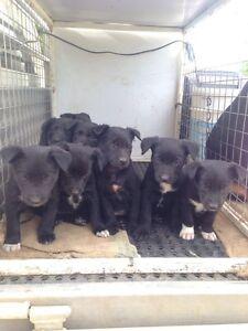 Kelpie x pups Loomberah Tamworth Surrounds Preview