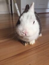 Pair  of pure breed Netherland dwarf rabbits for sale Narre Warren Casey Area Preview