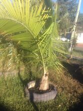 Free Palm tree Mount Druitt Blacktown Area Preview