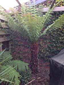 Tree ferns and Yuccas for sale Parkdale Kingston Area Preview