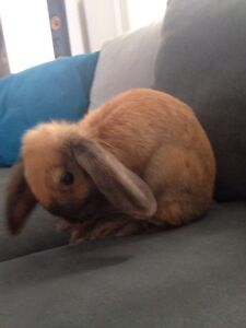 Mini lop x Netherland dwarf rabbit Tahmoor Wollondilly Area Preview