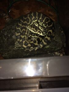 1 yr Carpet Python (must go) Huntingdale Gosnells Area Preview