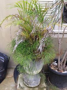Golden Palm and Fern in ornamental cement pot Bellevue Hill Eastern Suburbs Preview