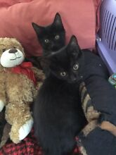 URGENT URGENT RESCUED ADORABLE SIBLINGS JACK AND BELLE Riverwood Canterbury Area Preview