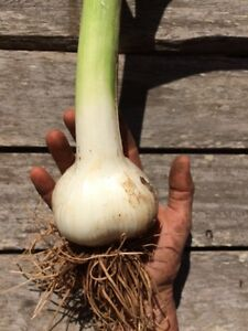 Russian (Elephant) Garlic Glenreagh Clarence Valley Preview