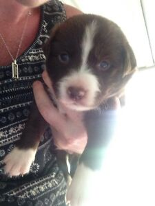 Chocolate border collies Julatten Tablelands Preview