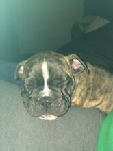 Ozzie bulldog puppies Junee Junee Area Preview