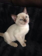 Burmese kittens Griffin Pine Rivers Area Preview