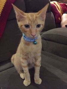 LOST LITTLE GINGER KITTEN Bethania Logan Area Preview