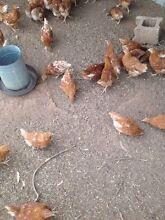 Isa brown hens Mallala Mallala Area Preview