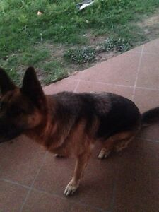 Wanted wanted: a female German Shepard 4 months to 2 years Ipswich Ipswich City Preview