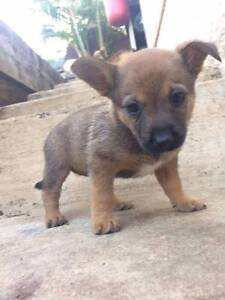 Pomeranian x Jack  Russell Puppy Cringila Wollongong Area Preview