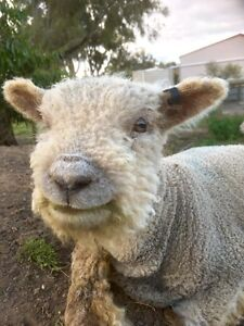 Pure Small Southdown ram Stawell Northern Grampians Preview