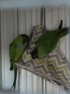 nanday conure breeding pair Helensburgh Wollongong Area Preview