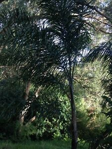 Palm trees Charlestown Lake Macquarie Area Preview