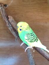 Big home made bird cage and 4 budgies 2 female 2 male Cambridge Gardens Penrith Area Preview