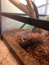 3 bearded dragons + setup South Guildford Swan Area Preview
