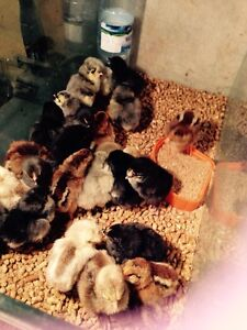 Day old chicks .. New hatches weekly Joyner Pine Rivers Area Preview